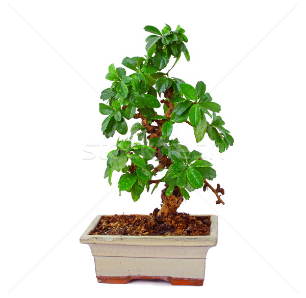 Bonsai Stock photo © grafvision