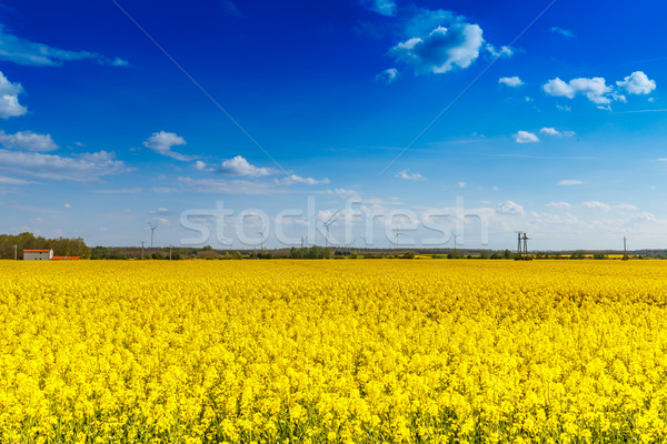 Rapeseed flower landscape Stock photo © grafvision