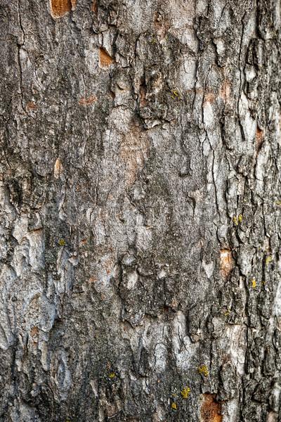 Tree crust Stock photo © grafvision