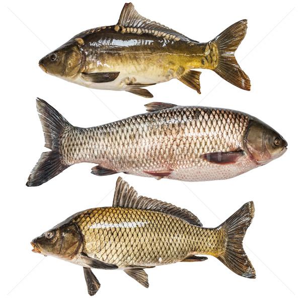 Peixe coleção isolado branco comida rio Foto stock © grafvision