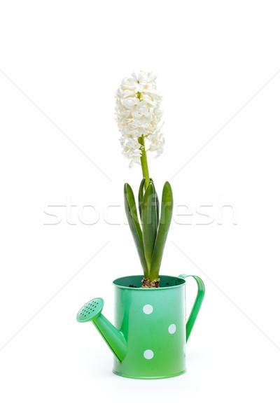 白 ヒヤシンス 花 美しい じょうろ 葉 ストックフォト © grafvision