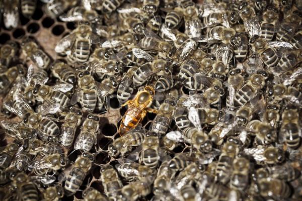 Stockfoto: Macro · shot · bijen · honingraat · koningin · midden