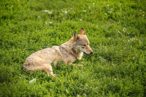 Wild grijs wolf gras natuur hoofd Stockfoto © grafvision