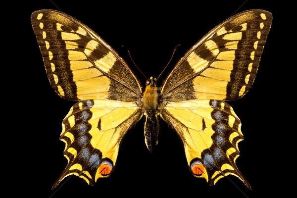 Butterfly, Papilio Machaon Stock photo © grafvision