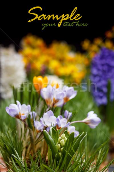 クロッカス 花 春 スペース 背景 カラフル ストックフォト © grafvision