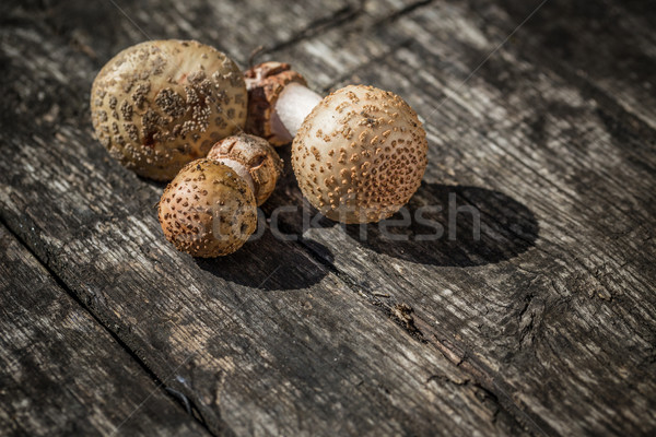 The Amanita Rubescens fungi Stock photo © grafvision