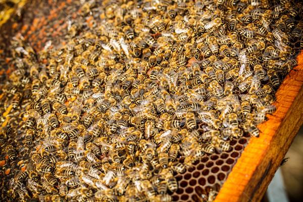 Stockfoto: Shot · bijen · frame · werken · dier · zoete