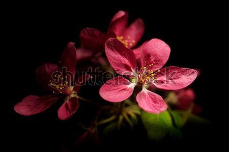 Plum- tree flowers Stock photo © grafvision
