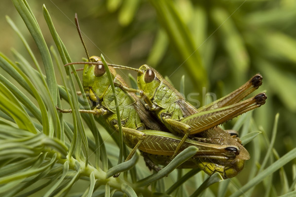 two green locust Stock photo © grafvision