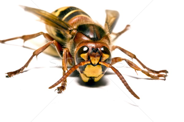 European Wasp Stock photo © grafvision