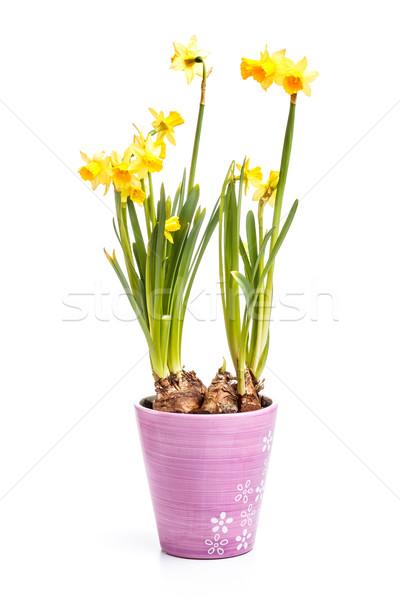 Yellow daffodils Stock photo © grafvision