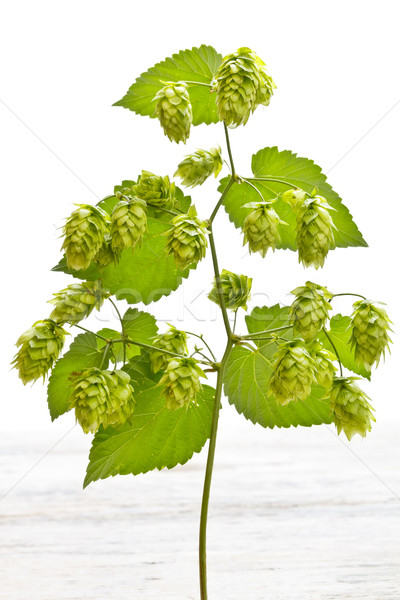 Branch of hop  Stock photo © grafvision