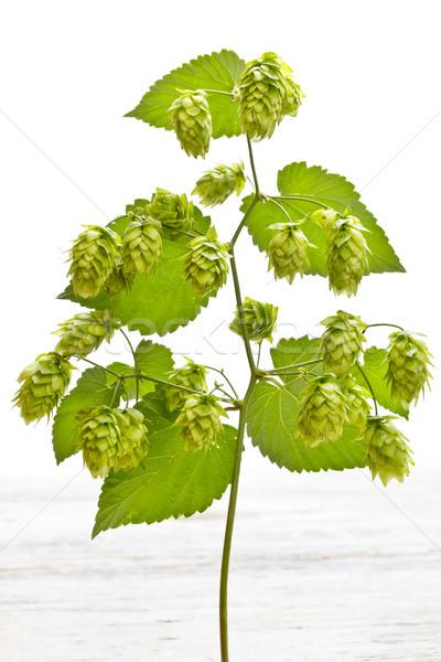 Tak hop volwassen natuur blad vruchten Stockfoto © grafvision