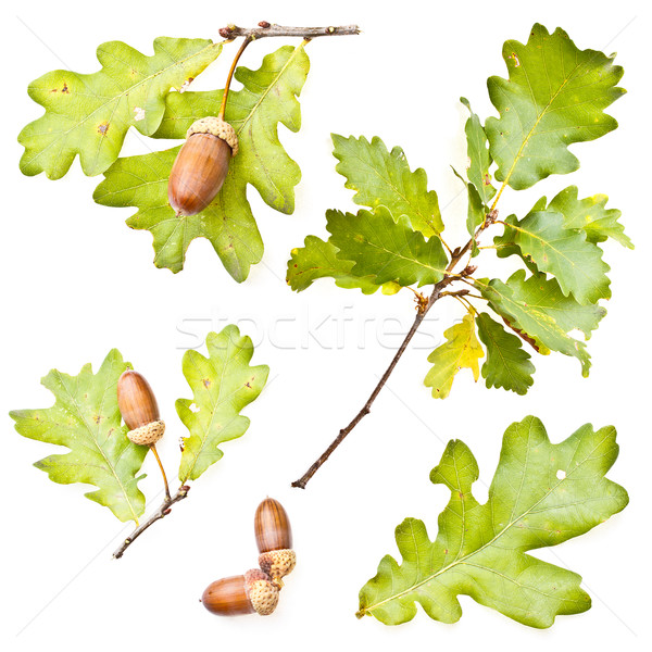Oak leaves and acorns Stock photo © grafvision