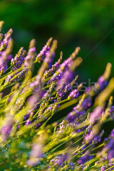 Lavendel veld zonlicht lavendel bloem zon Stockfoto © grafvision