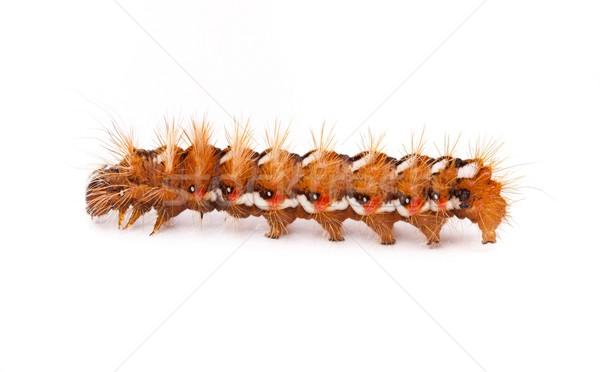 Caterpillar Stock photo © grafvision