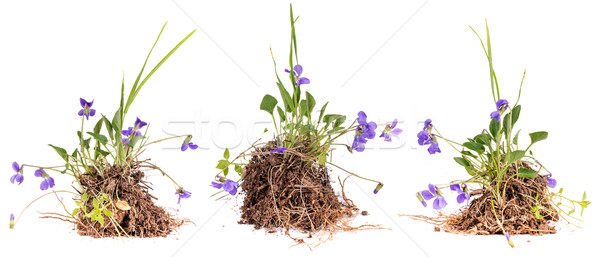 Wild viola flowers Stock photo © grafvision