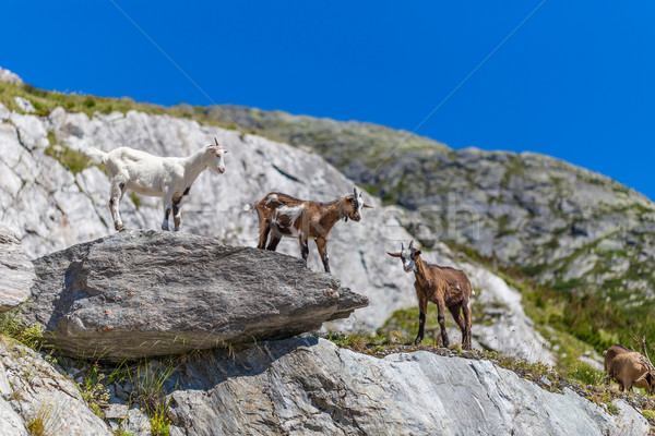 Young mountain goats  Stock photo © grafvision