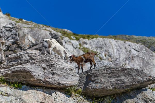 Dos jóvenes cabras jugar lucha borde Foto stock © grafvision