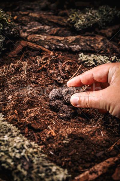 Summer black truffle Stock photo © grafvision