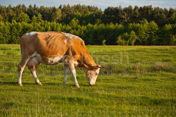 Cow grazing in meadow  Stock photo © grafvision