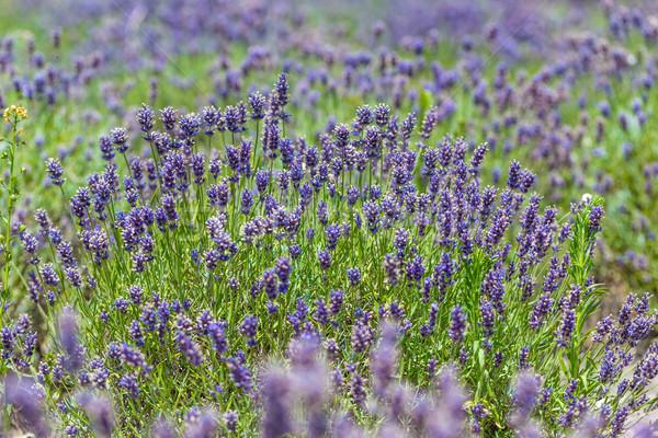 Campo de lavanda belo paisagem natureza verão campo Foto stock © grafvision