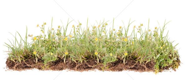 Flor silvestre flores amarillas aislado blanco flor hierba Foto stock © grafvision