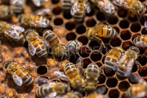 Urodzenia Pszczoła plaster miodu wygląd skrzydła Zdjęcia stock © grafvision