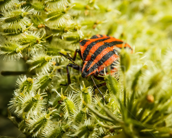 Bedbug Stock photo © grafvision