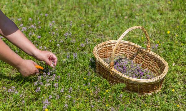 Origano campo mani forbici taglio erbe Foto d'archivio © grafvision