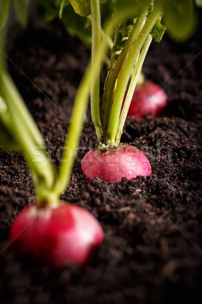 Stock fotó: Friss · retek · föld · zöldség · kert · zöld