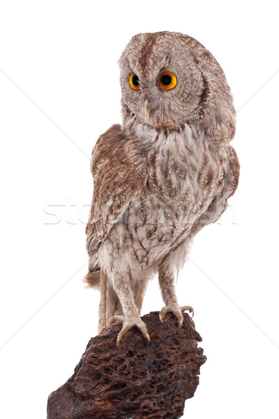 Owl Stock photo © grafvision