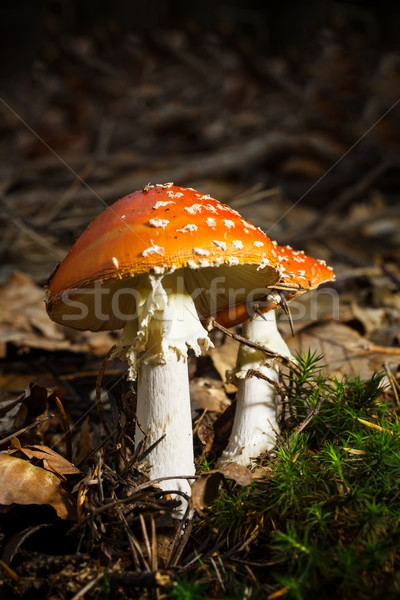 Mature fly agaric  Stock photo © grafvision