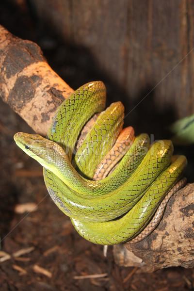 snake Stock photo © grafvision