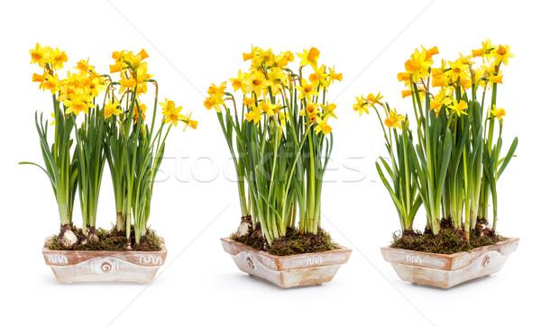 Narcissus flowers Stock photo © grafvision