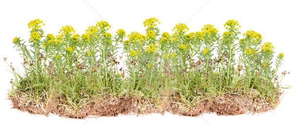 желтый цветок Буш изолированный белый цветок Сток-фото © grafvision