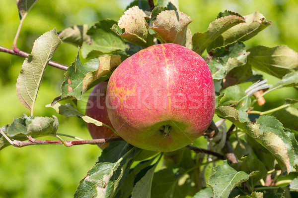 Elma ağacı kırmızı elma bahçe yaprak meyve Stok fotoğraf © Grazvydas