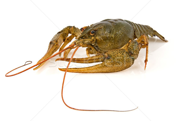 crayfish Stock photo © Grazvydas