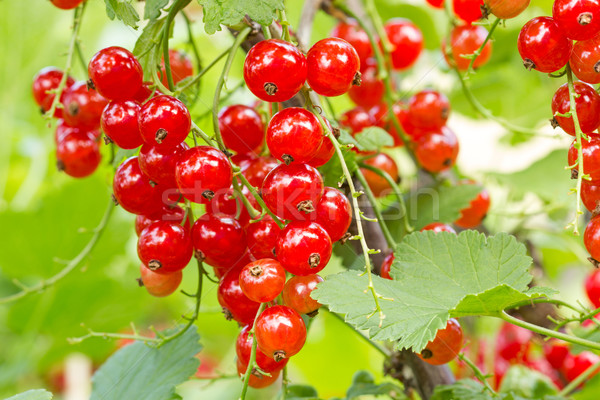 Red currants ready for harvest Stock photo © Grazvydas