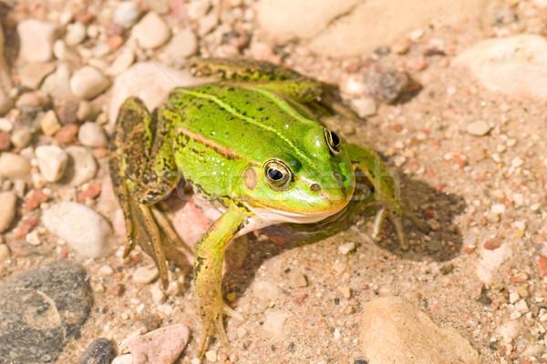 green frog Stock photo © Grazvydas
