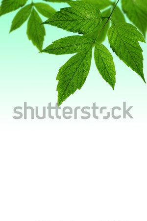 green leaves  with copy-space Stock photo © Grazvydas
