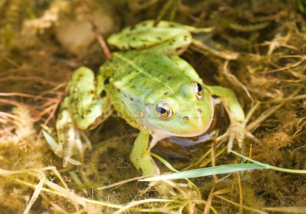 green frog in a water Stock photo © Grazvydas