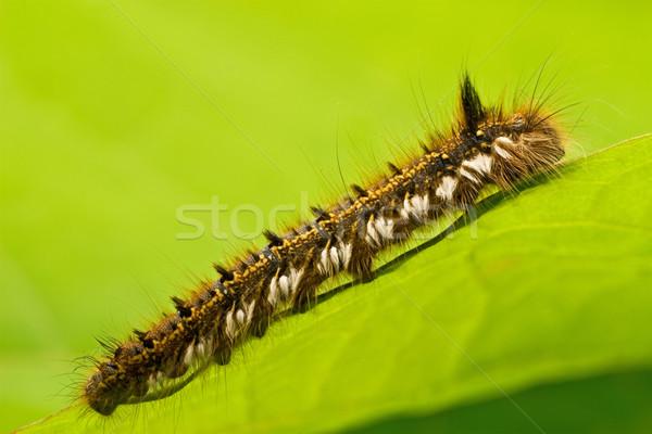 Haarig Raupe kriechen Blatt green leaf Farbe Stock foto © Grazvydas