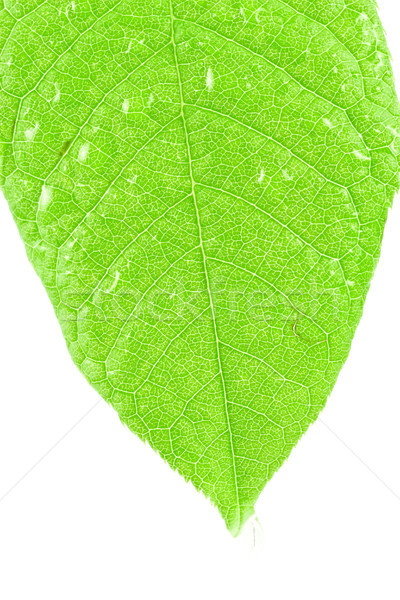 leaf on white background Stock photo © Grazvydas