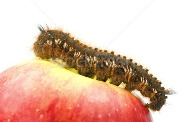 caterpillar on top of  apple Stock photo © Grazvydas