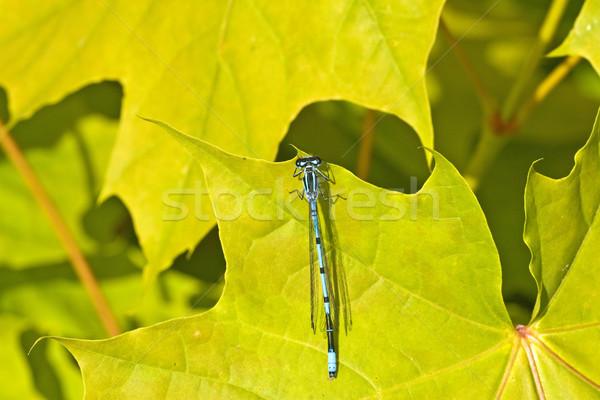 Dragon volare seduta verde foglia d'acero blu Foto d'archivio © Grazvydas