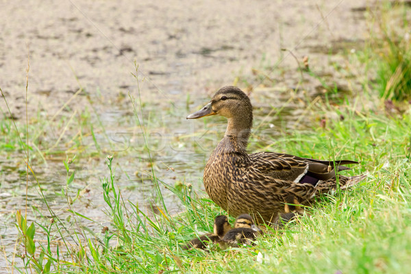 ördek oturma gölet Stok fotoğraf © Grazvydas