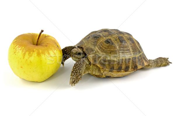 tortoise and yellow apple Stock photo © Grazvydas