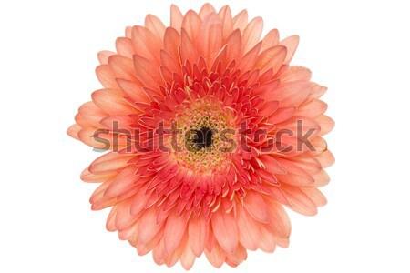 Rosa isolato bianco bella fiore oggetto Foto d'archivio © Grazvydas