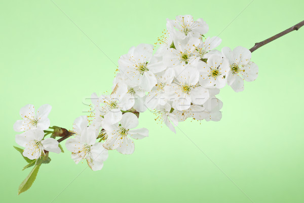 Kirschblüten Zweig Frühling grünen Baum Schönheit Stock foto © Grazvydas